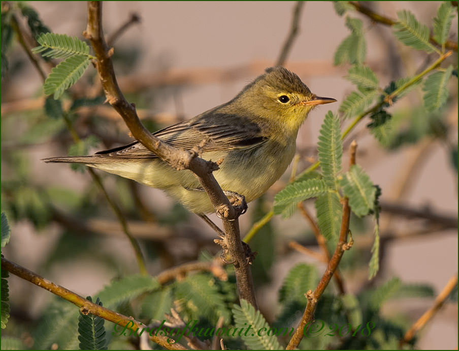 Icterine Warbler perched on a branch of a tree