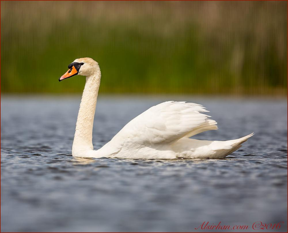 Mute Swan swimming in water