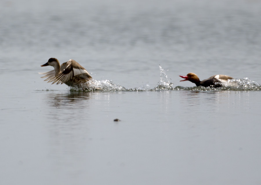 Red-crested Pochard swimming in water