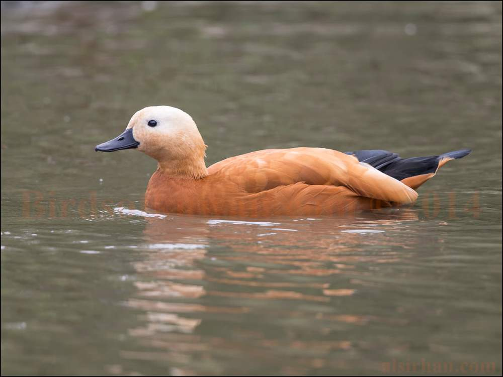 Ruddy Shelduck swimming in water