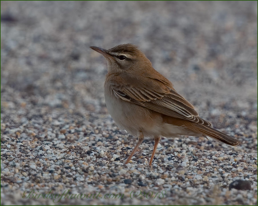 Rufous-tailed Scrub Robin perched on ground