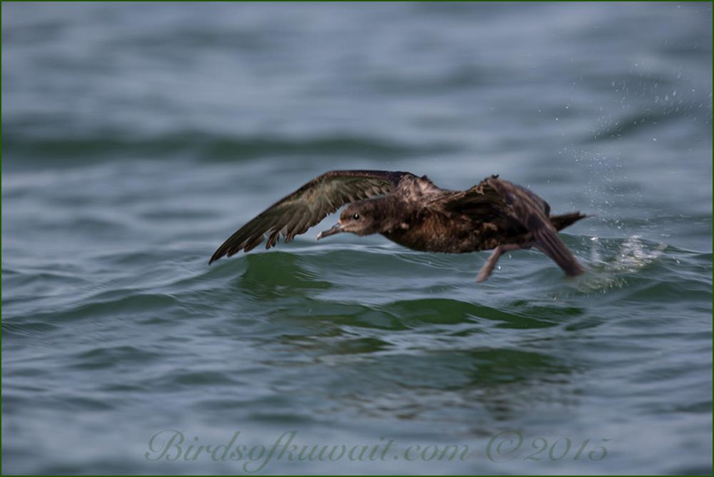 Sooty Shearwater flying over the sea water