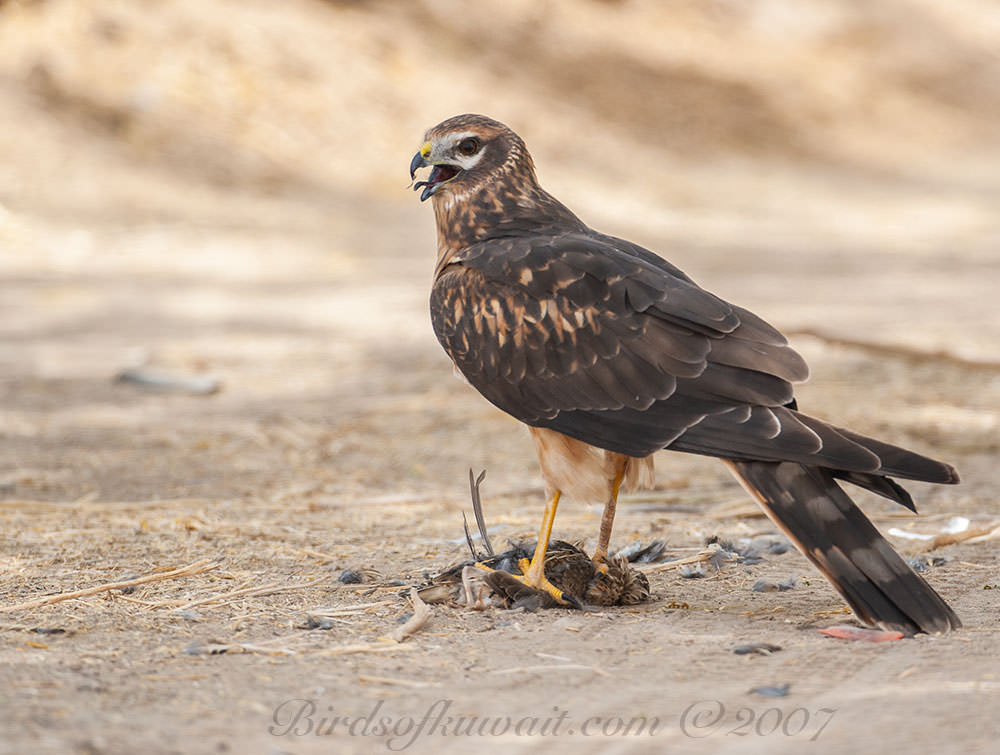 Pallid Harrier with a prey