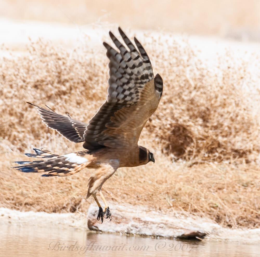 Pallid Harrier taking off