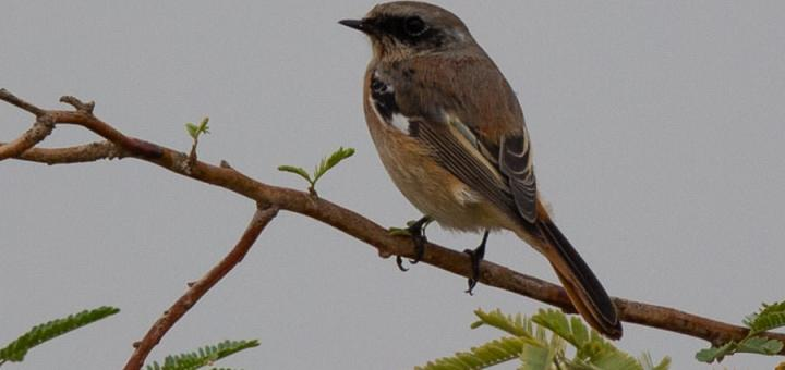 Eversmann's Redstart perched on a branch of a tree