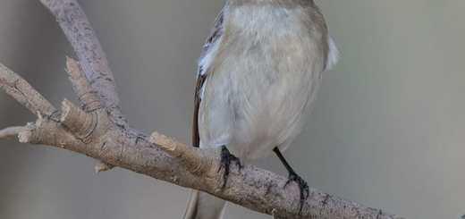 Semi-collared Flycatcher Ficedula semitorquata
