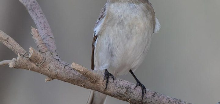 Semi-collared Flycatcher perched on a branch of a tree