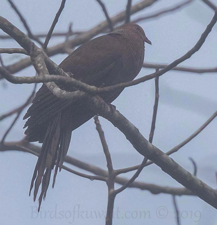 Andaman Cuckoo-Dove perching on a branch of a tree
