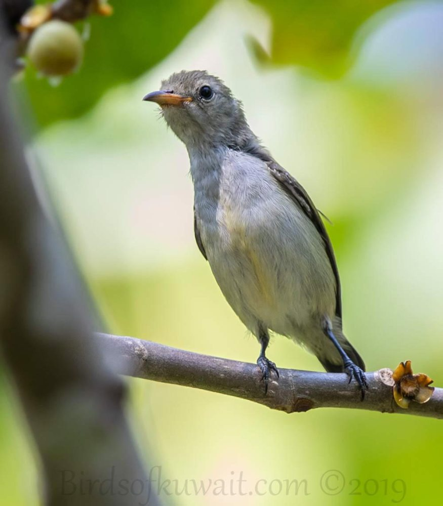 Andaman Flowerpecker perching on a branch of a tree