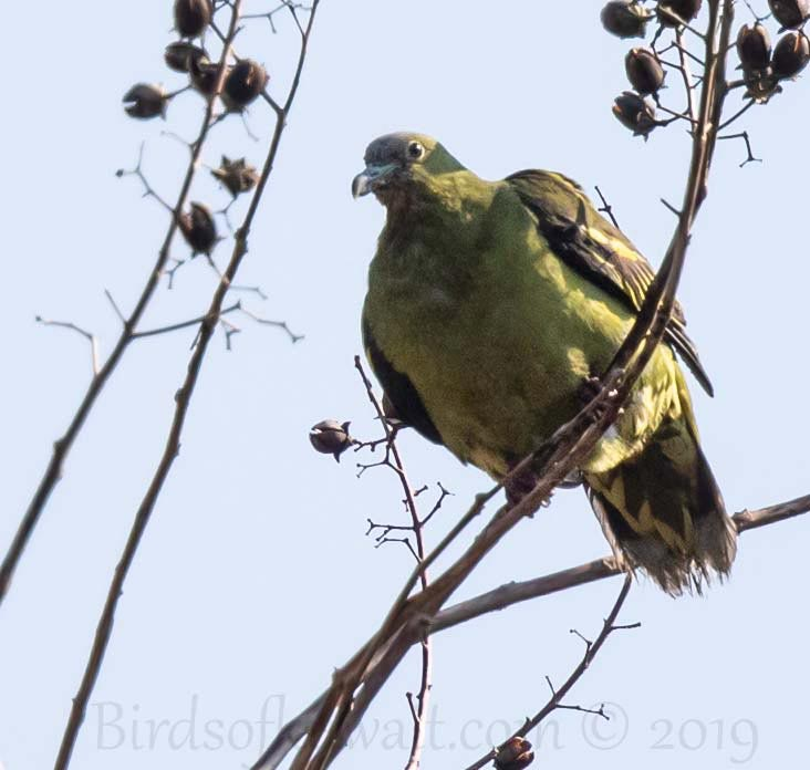 Andaman Green-Pigeon perching on a branch of a tree