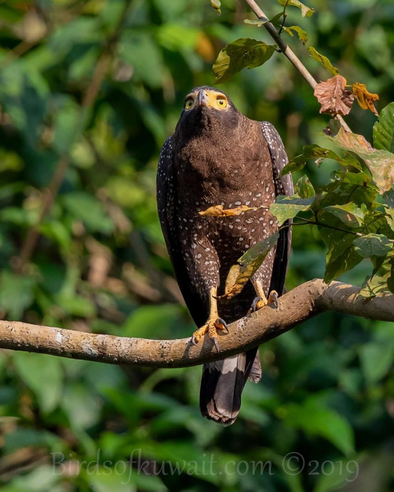 Andaman Serpent-Eagle perching on a branch of a tree