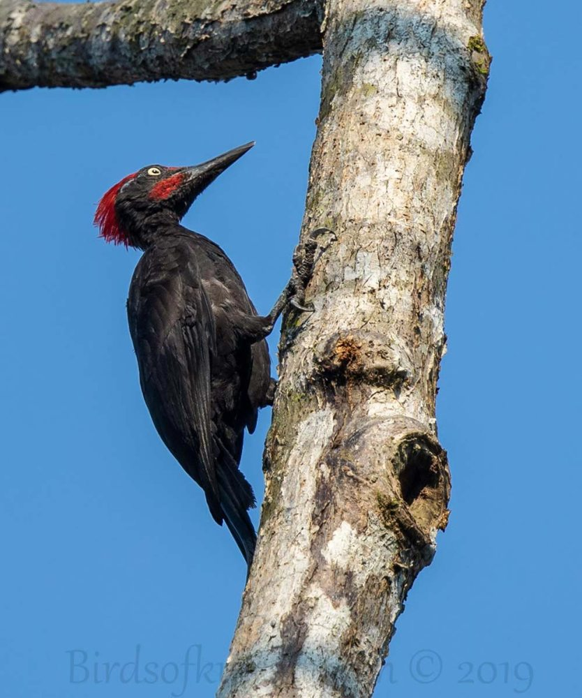 Andaman Woodpecker perching on a trunk of a tree