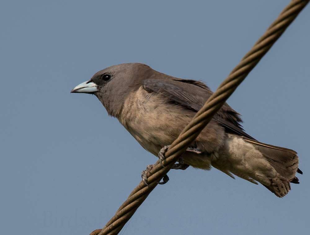 Ashy Woodswallow perched on pylon