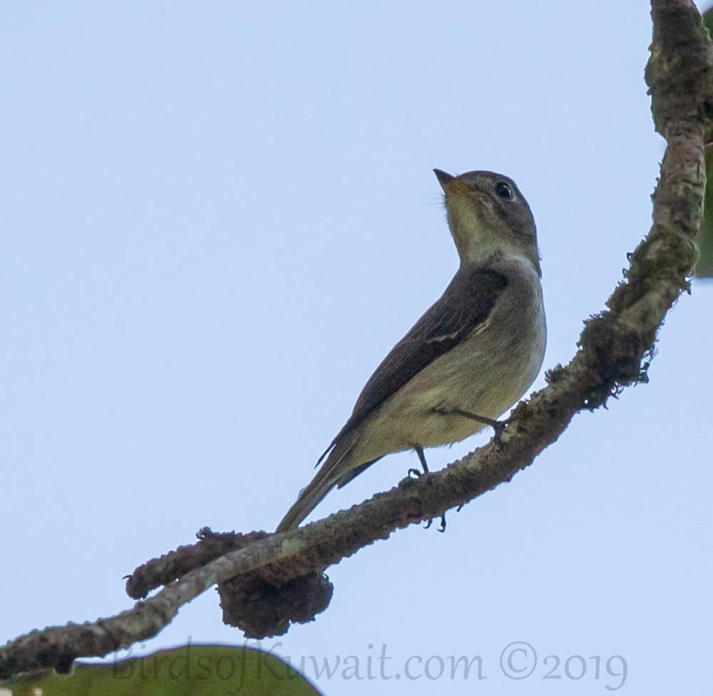 Asian Brown Flycatcher perched on a branch of a tree