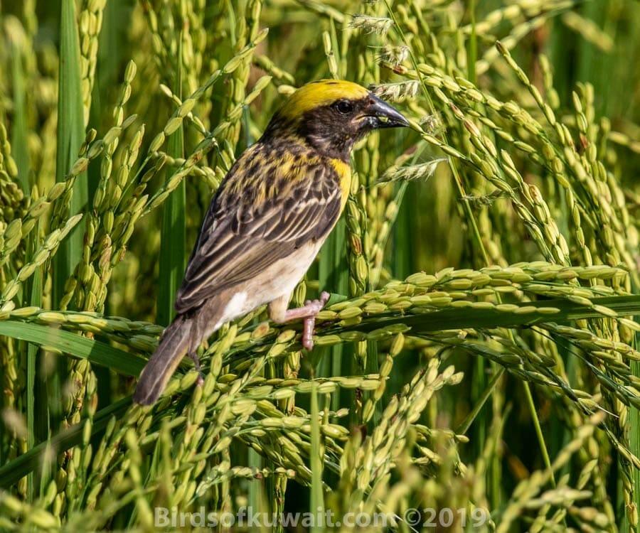 Baya Weaver perched on grass