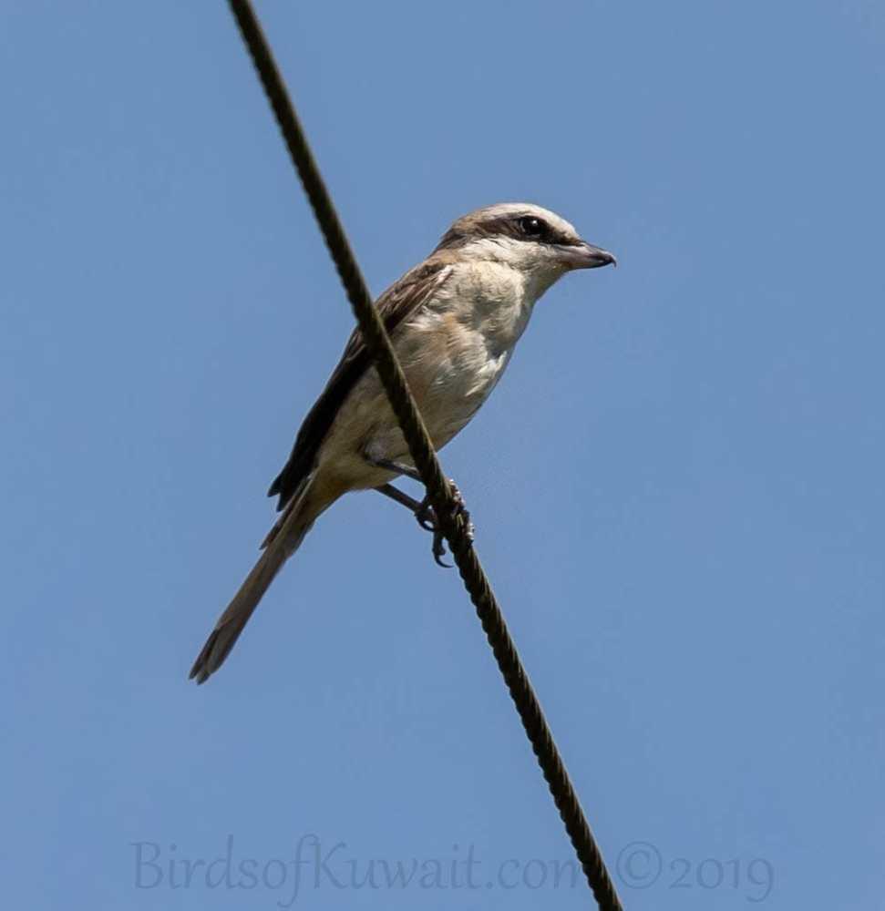 Brown Shrike perched on a pylon