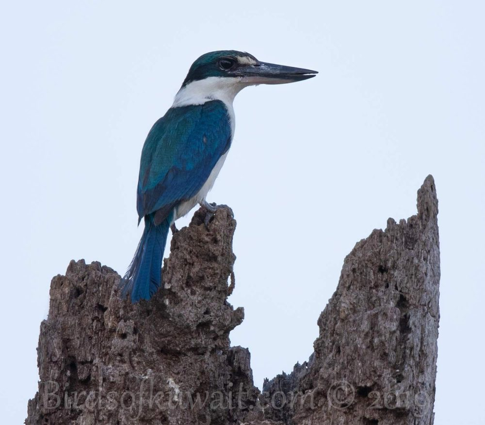 Collared Kingfisher perching on a log