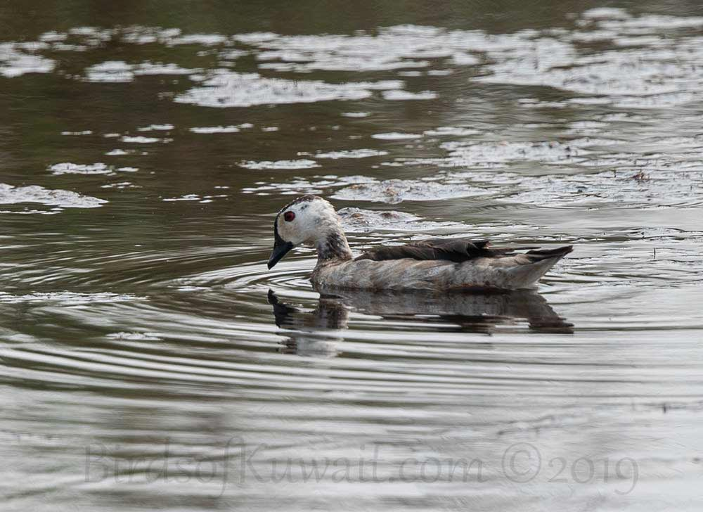 Cotton Pygmy-Goose swimming in water