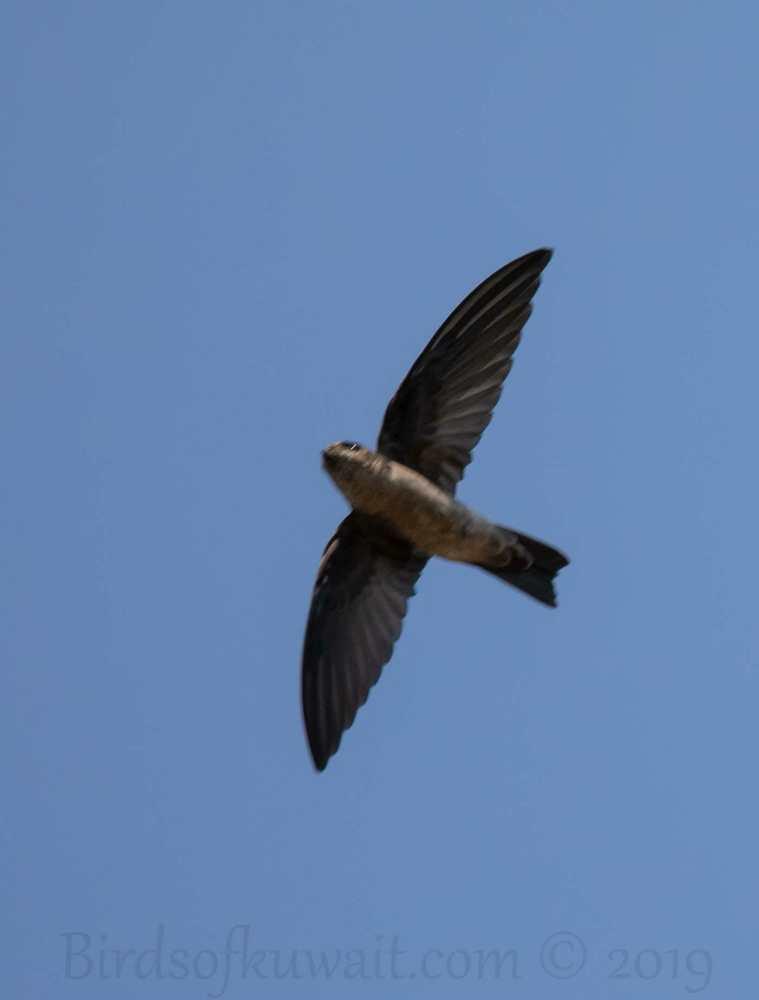 White-nest Swiftlet in flight