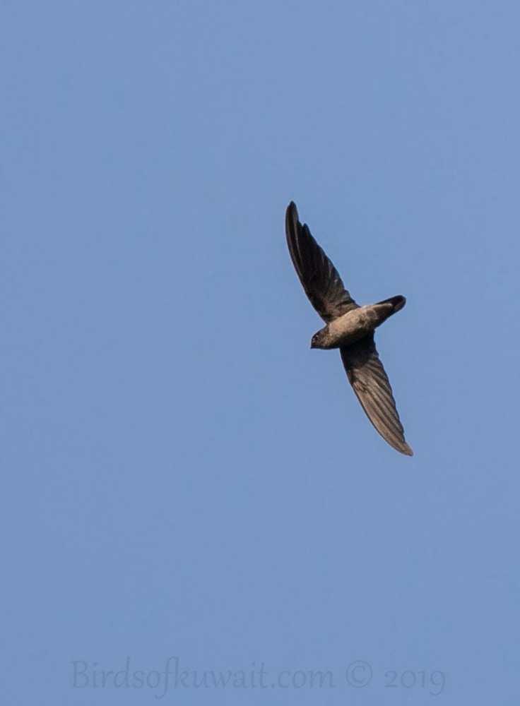 White-nest Swiftle in flight