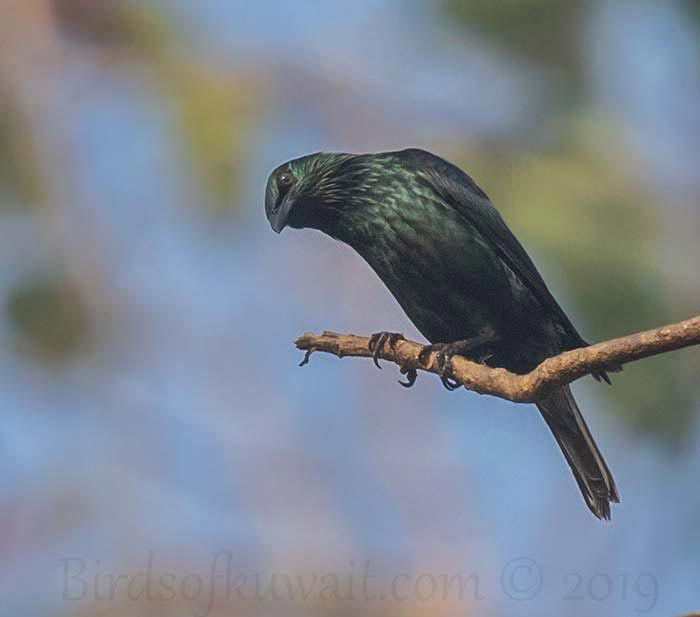 Asian Glossy Starling perching on a branch of a tree