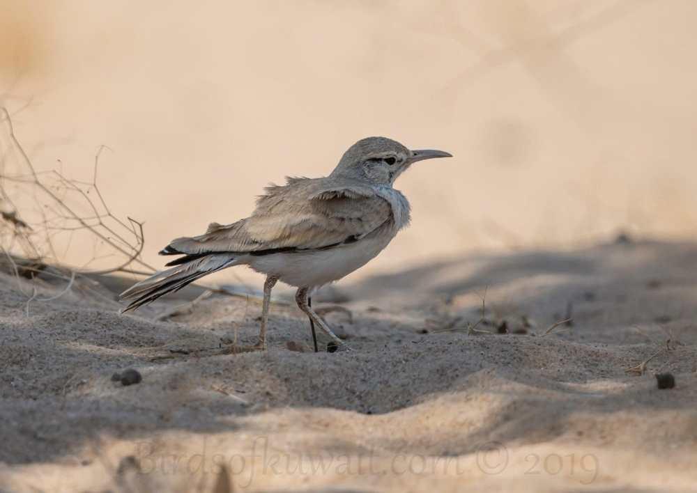 Greater Hoopoe-Lark standing on sand in the desert
