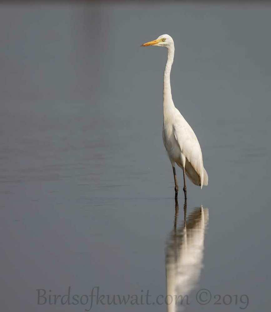 Intermediate Egret standing in water