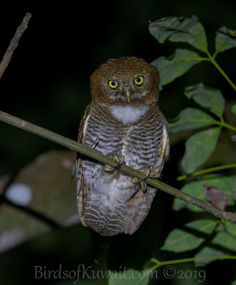 Jungle Owlet perched on a branch of a tree