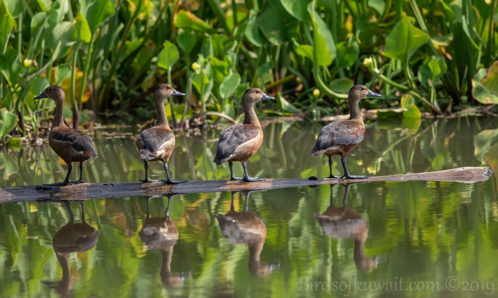 Lesser Whistling-Duck standing on a floating log