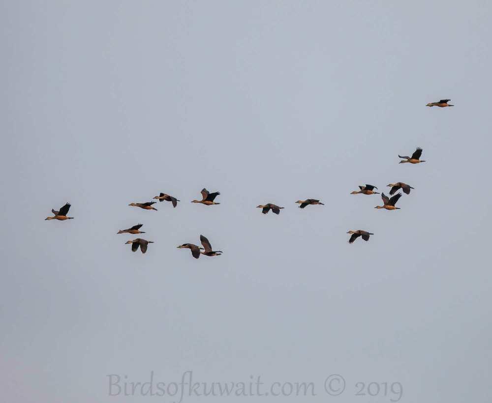 16 Lesser Whistling-Ducks in flight