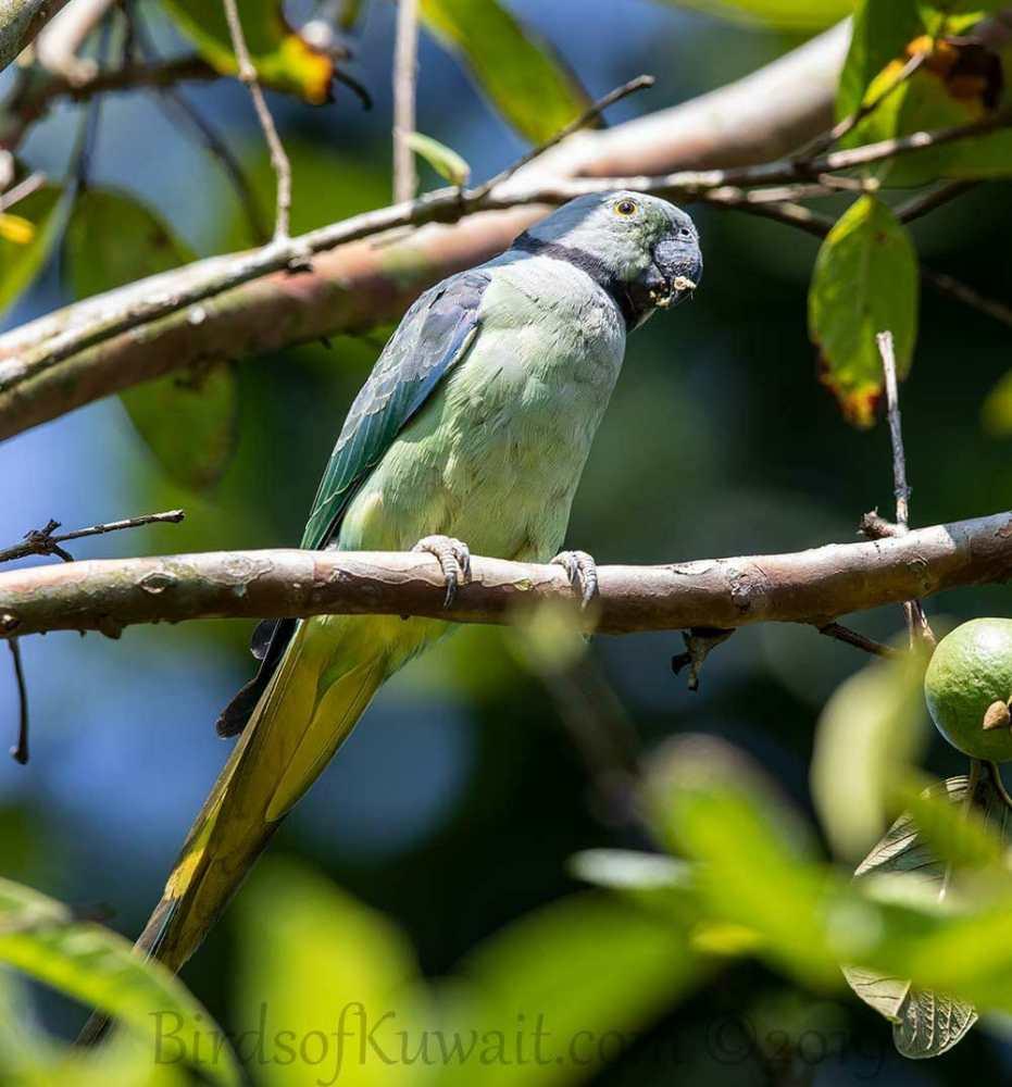Malabar Parakeet perching on a branch of a tree