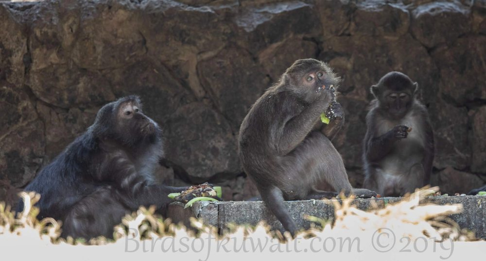 A group of Nicobar Long-tailed-Macaque sitting on ground