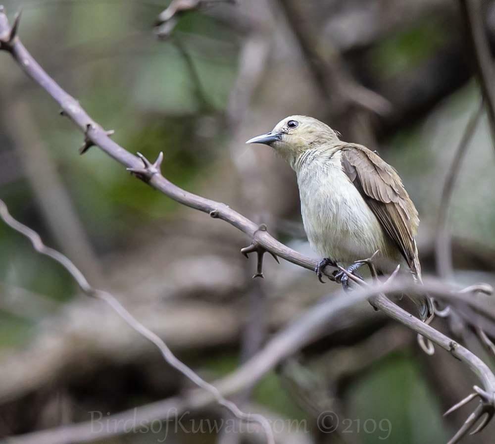 Nilgiri Flowerpecker perching on a branch of a tree