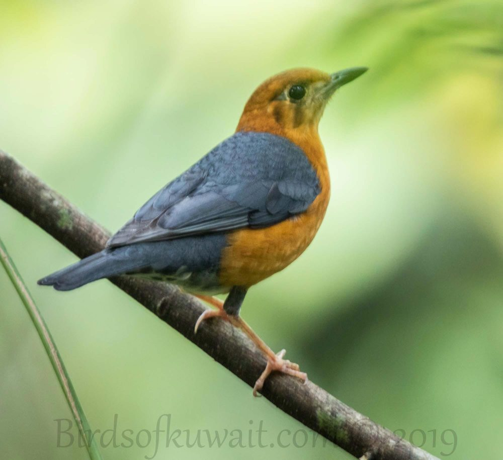 Orange-headed Thrush perching on a branch of a tree