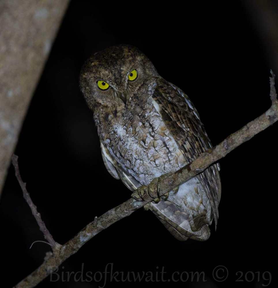 Oriental Scops Owl perching on a branch of a tree