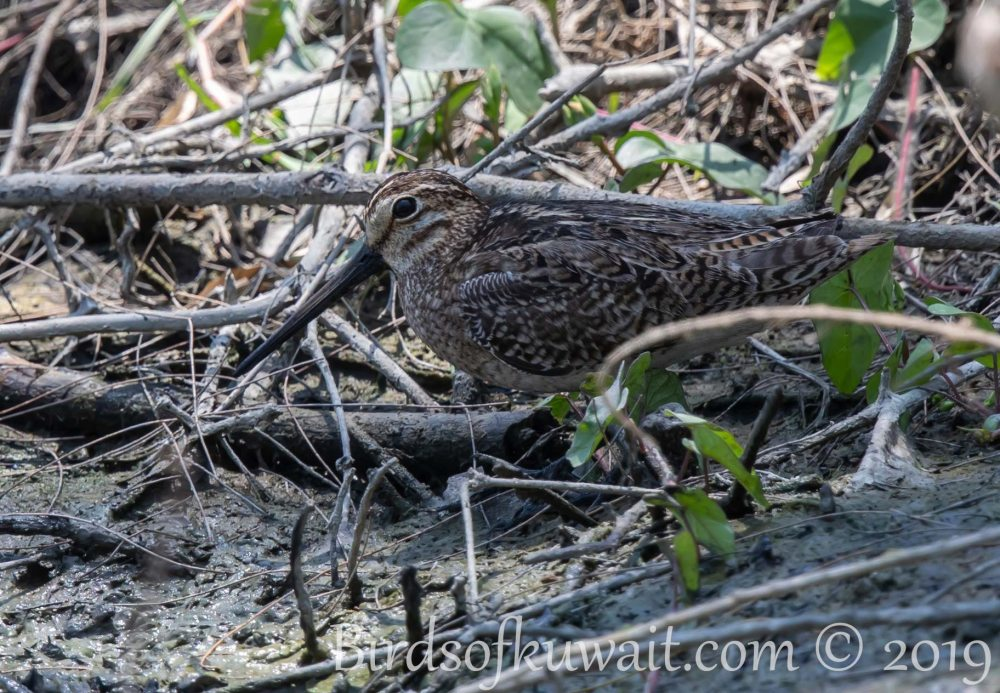 Pin-tailed Snipe feeding on ground