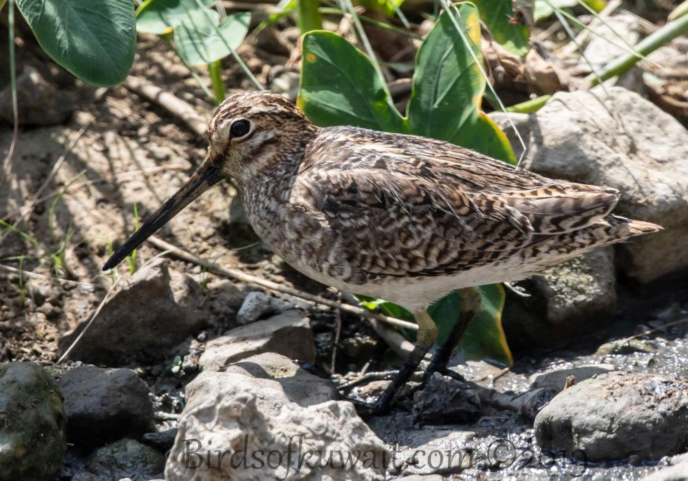 Pin-tailed Snipe perching on the ground