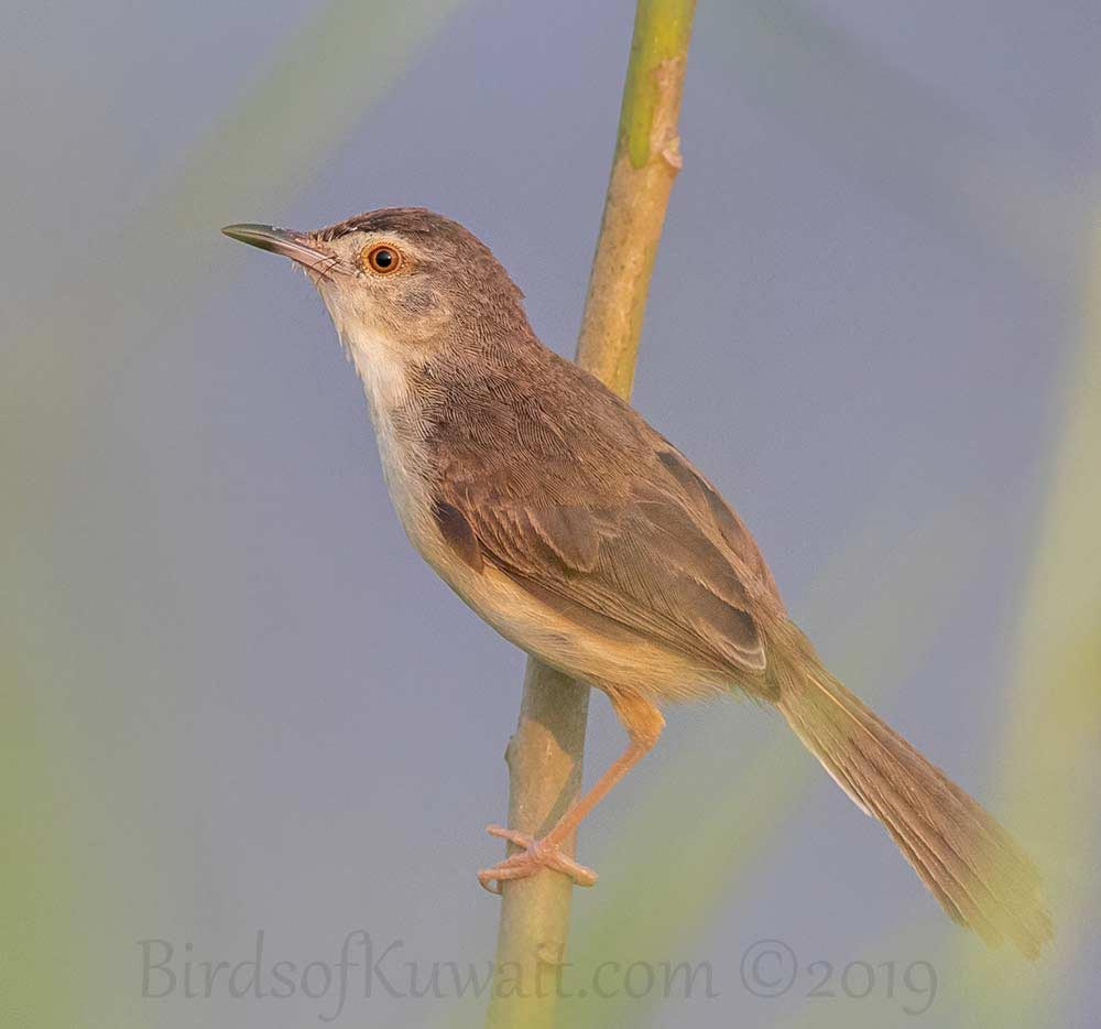 Plain Prinia perched on a branch of a tree