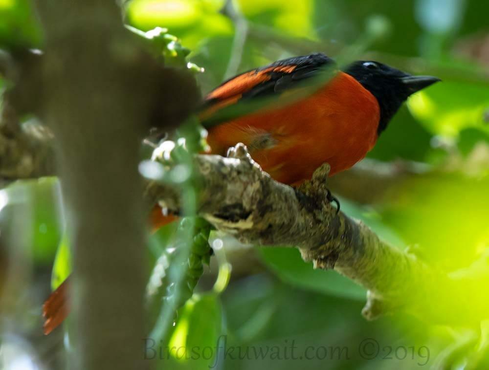 Scarlet Minivet perching on a branch of a tree