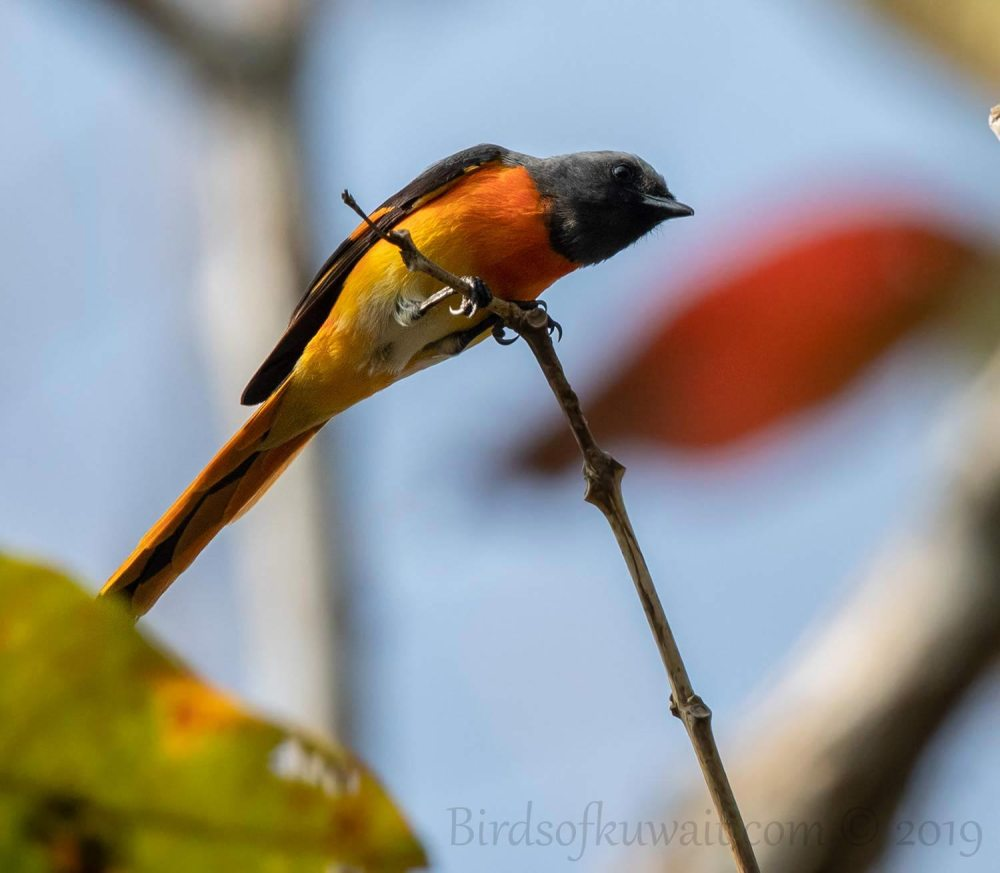 Small Minivet perching on a branch of a tree