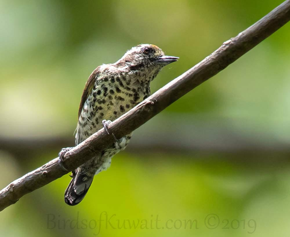 Speckled Piculet perching on a branch of a tree