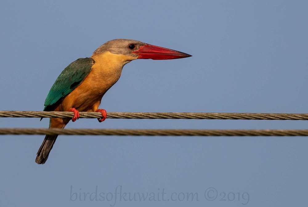 Stork-billed Kingfisher perching on pylon