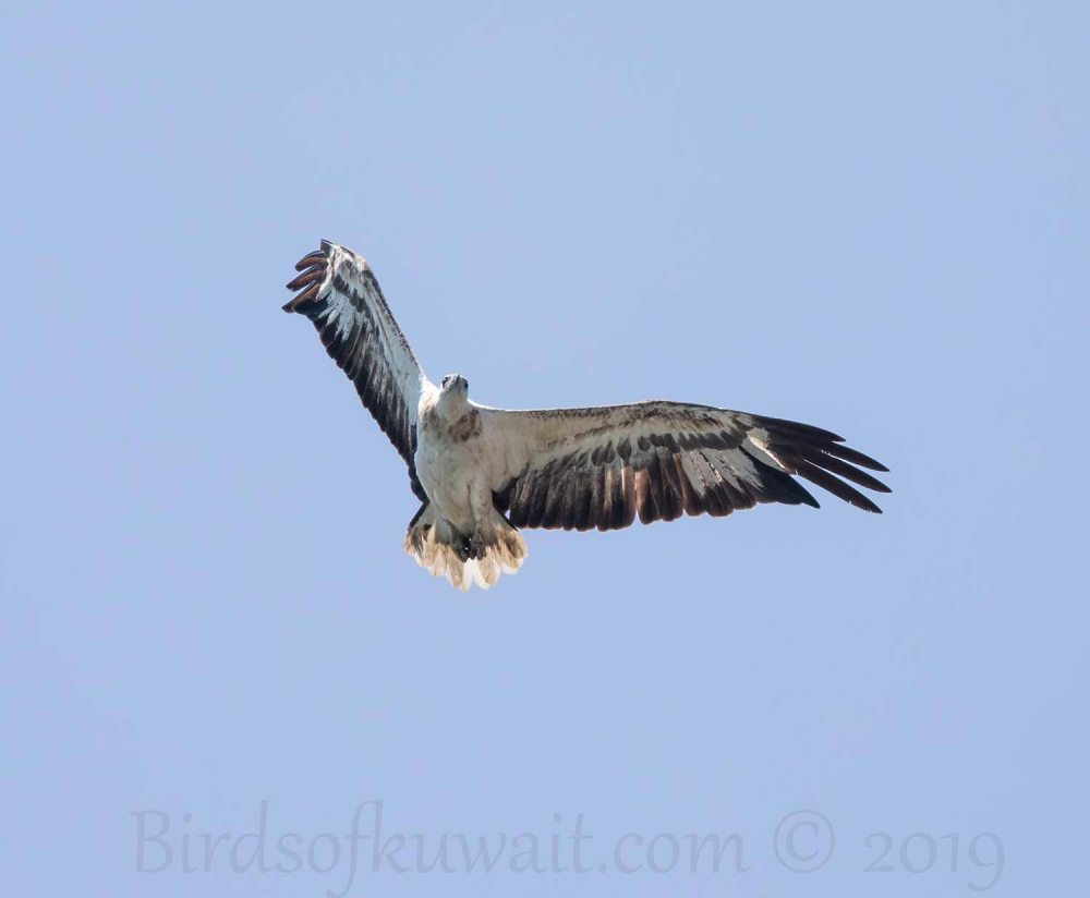 White-bellied Sea Eagle in flight