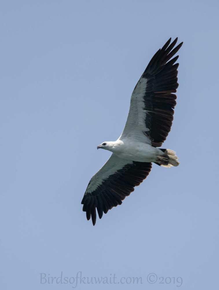 White-bellied Sea-Eagle in flight