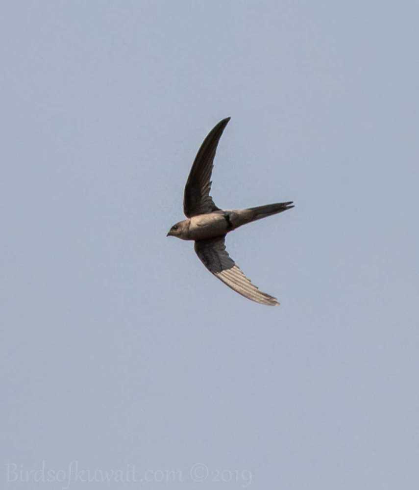 Asian Palm-Swift in flight