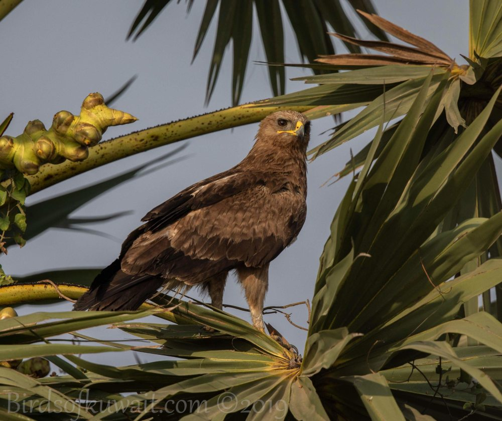 Indian Spotted Eagle perching on a branch of a tree
