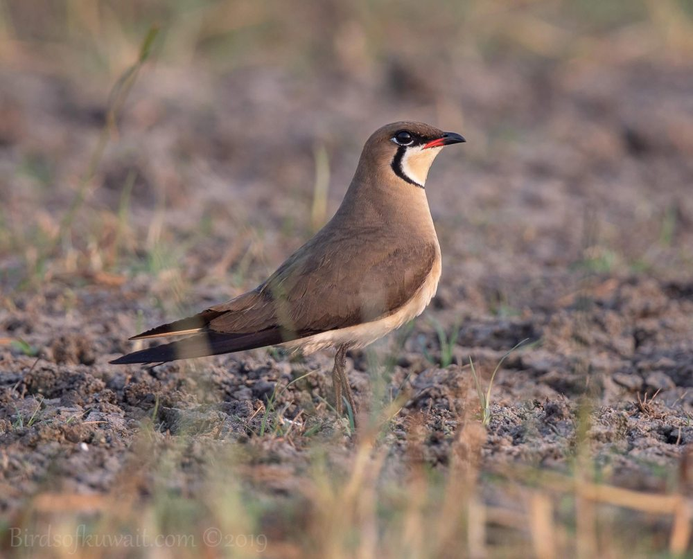Oriental Pratincole standing on ground