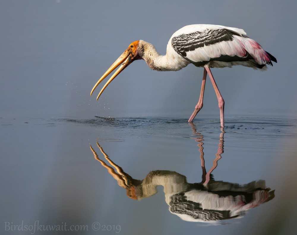 Painted Stork feeding in water