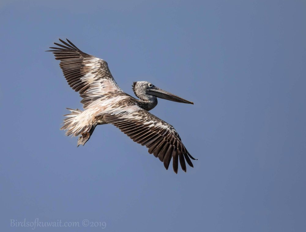 Spot-billed Pelican in flight