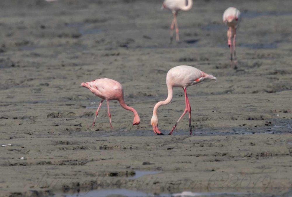Lesser Flamingo feeding on the ground